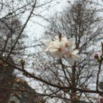 2016年春の八丁堀の桜開花情報