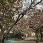 桜川公園の桜五分咲き(20170330)