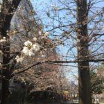 桜川公園の桜咲き始め(20170328)