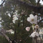 桜川公園の桜開花宣言!(20170323)