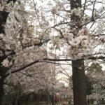 桜川公園の桜ほぼ満開!(20170403)
