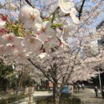 桜川公園の桜満開、天気も快晴!(20170405)