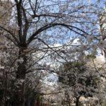 桜川公園の桜七分咲き(20180323)