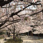 桜川公園の桜満開、お花見日和です!(20180327)