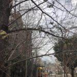 2018年桜川公園桜情報(20180315)