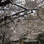 桜川公園の桜七分咲き(20190328)